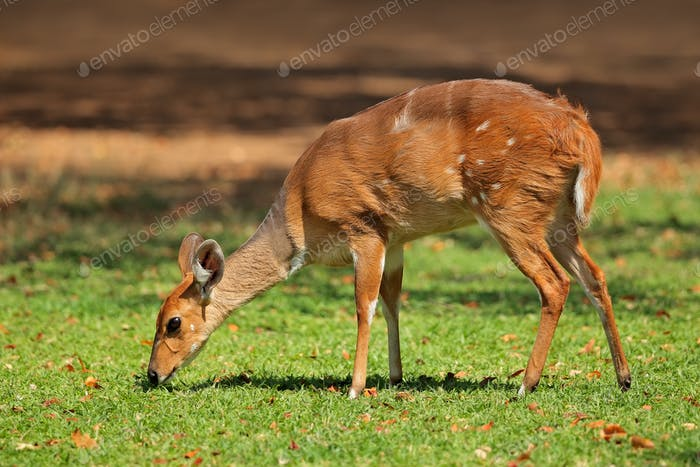 Female nyala antelope
