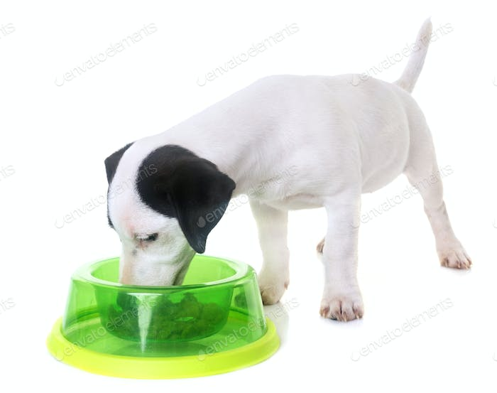 puppy jack russel terrier eating