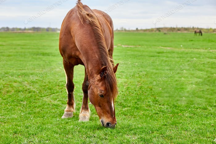 A brown horse with a shaggy tan mane eating in an empty grass field