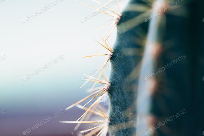 Cactus thorns. Macro cactus thorns