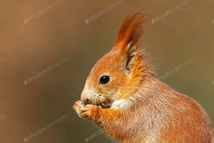 Portrait of Eurasian red squirrel, sciurus vulgaris, in autumn forest