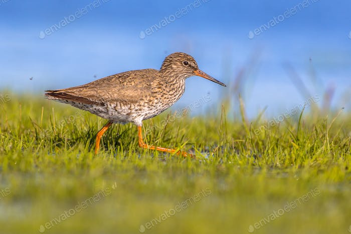 Common redshank moving through grass