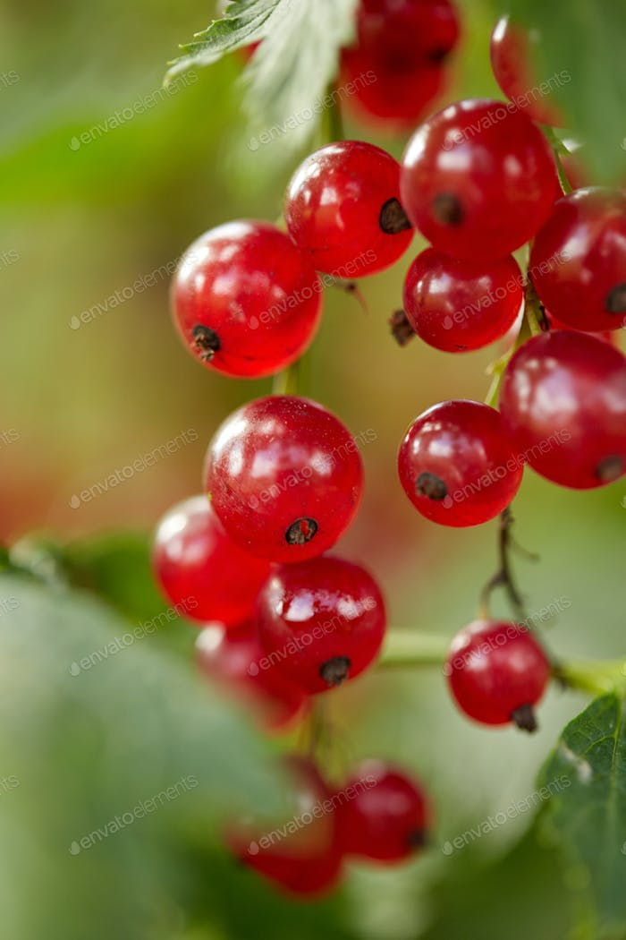 red currant bush at summer garden branch