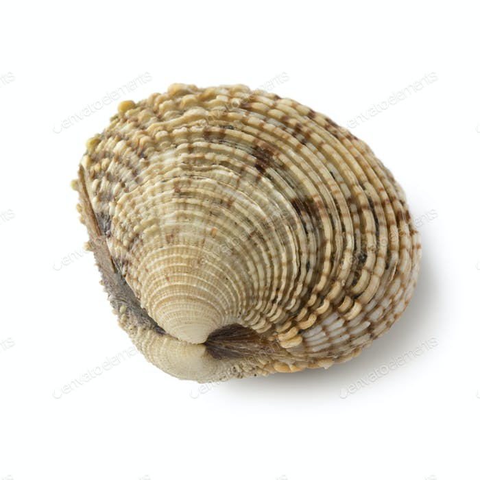 Fresh raw warty venus clam