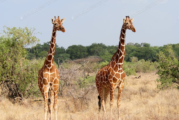 Two standing giraffes among the bushes
