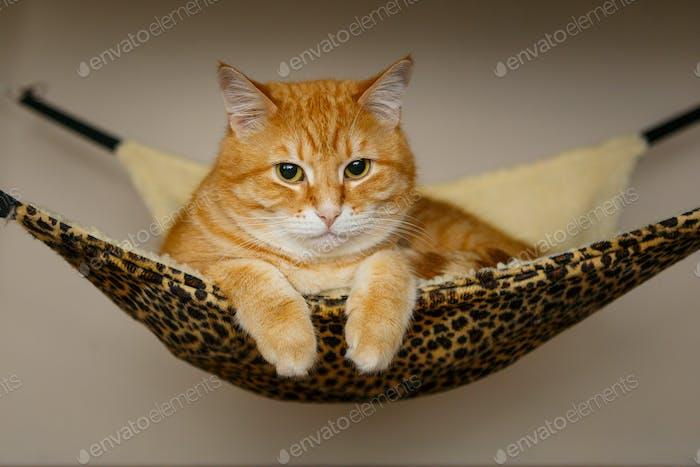 Red cat sleeping in hammock