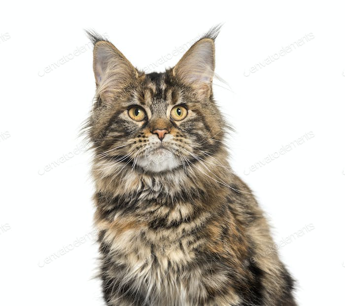Main coon sitting against white background