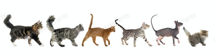 six walking cats