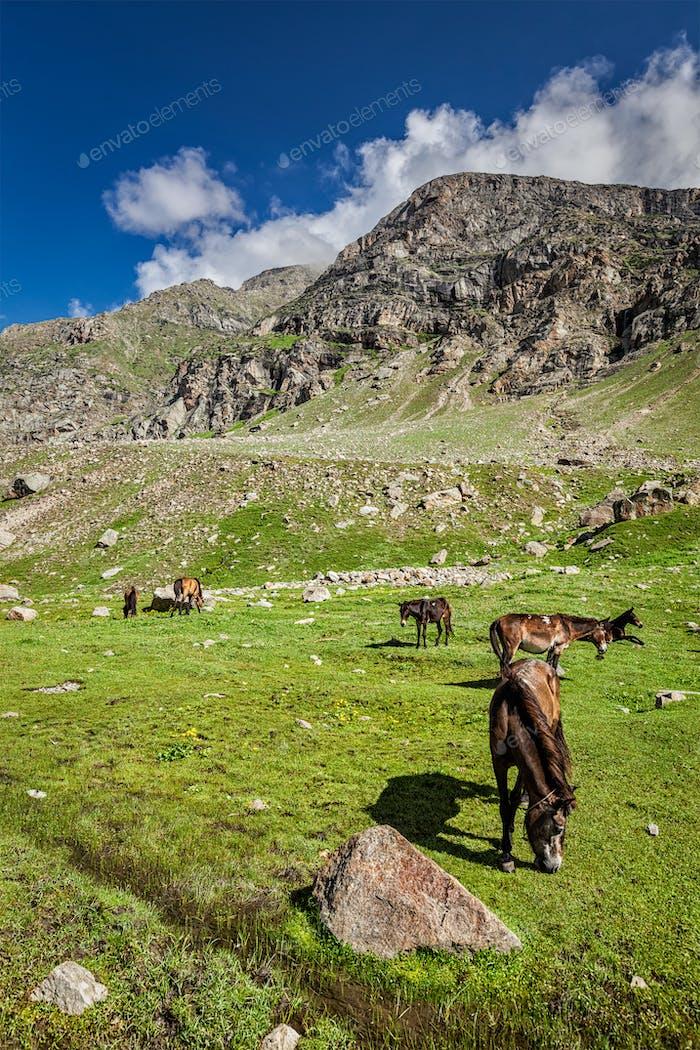 Pferde grasen im Himalaya
