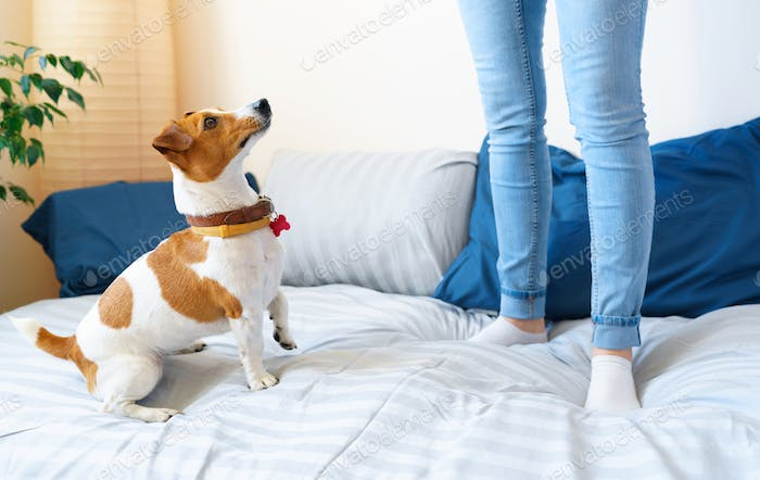 Girl jumping on bed together with dog jack russell terrier