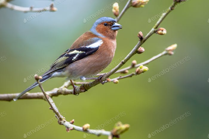 Thumbnail for Chaffinch perched on spring branch