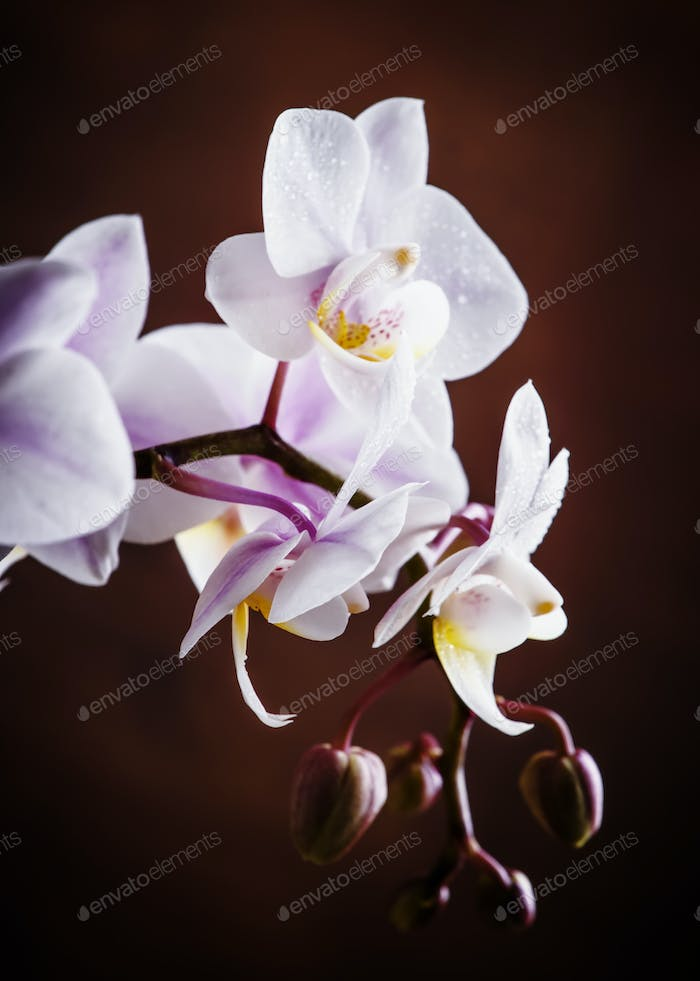 White and pink blooming orchid