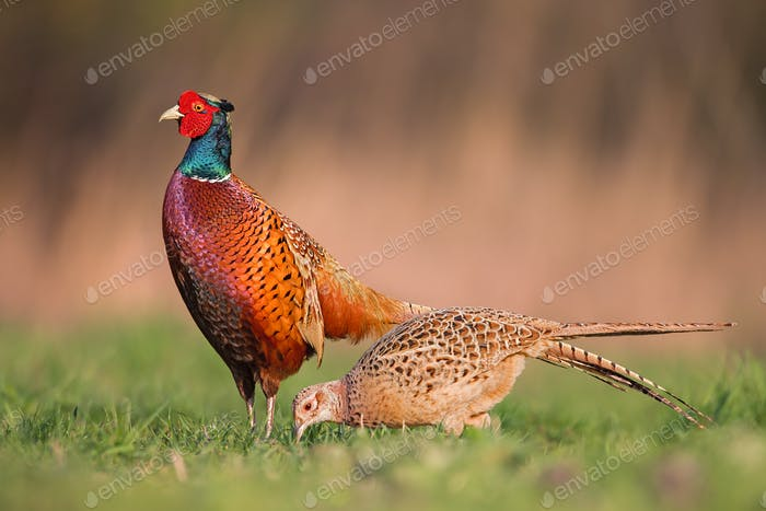 Male common pheasants, phasianus colchicus, displaying in front of female