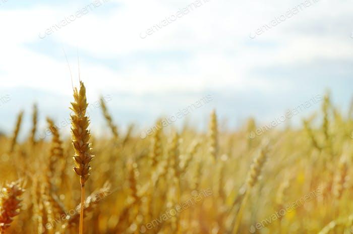 Weizenfeld unter blauem Himmel