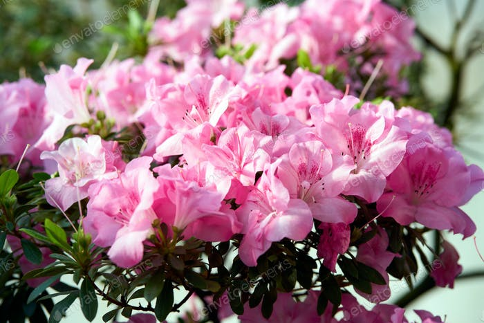 Flowers bloom azaleas, pink rhododendron buds on green background, spring backdrop