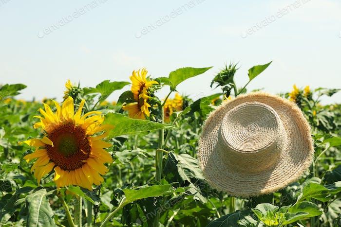 Straw hat and sunflower field. Farming. Autumn harvest