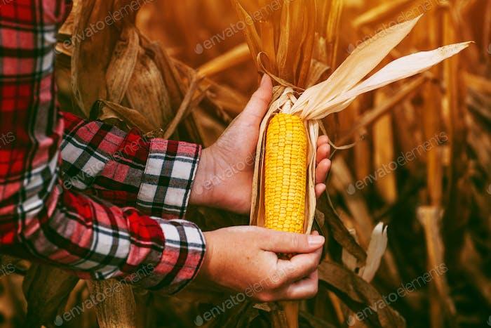 Farmer with harvest ready ripe corn maize cob in field