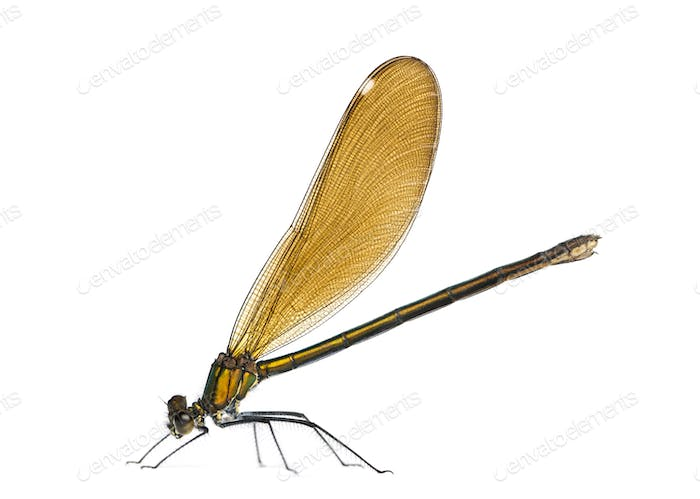 Female beautiful demoiselle, Calopteryx virgo in front of a white background