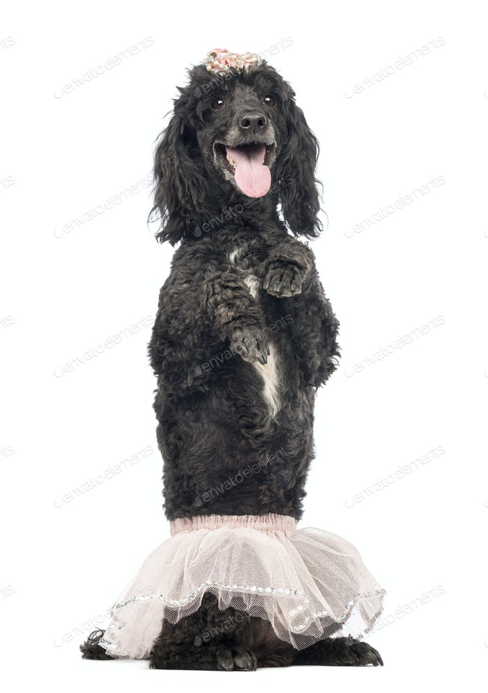 Poodle, 5 years old, standing on hind legs, wearing a pink tutu