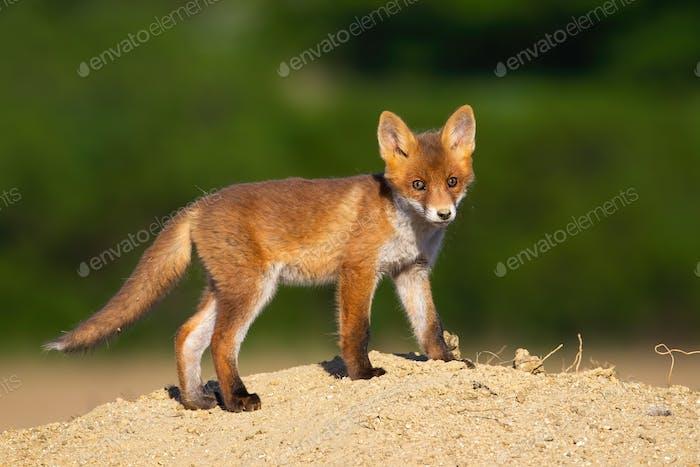Junger roter Fuchs steht im Sommer auf Sand