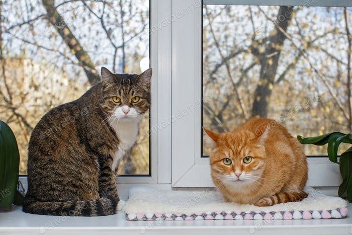 Rote und graue Katze sitzen auf der Fensterbank