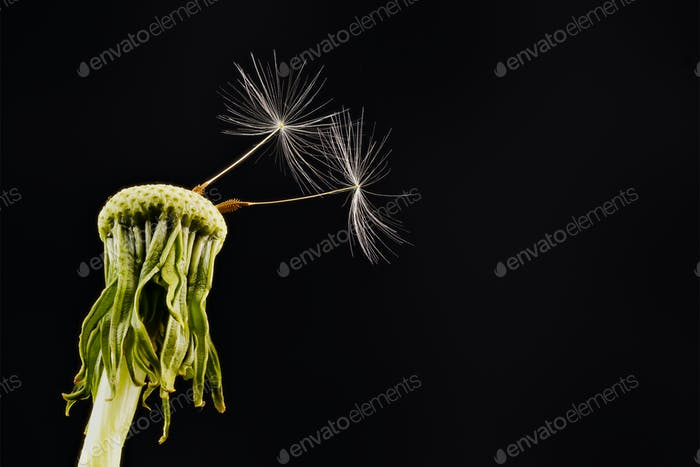 Close-up of dandelion on the black background