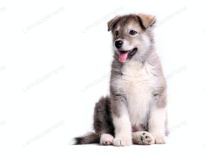 Alaskan malamute puppy against white
