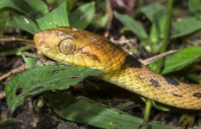 Nördliche Katzenäugige Schlange in Belize