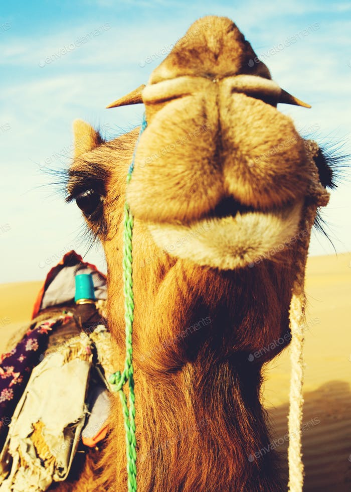 Happy Camel Smiling in the Desert Concept