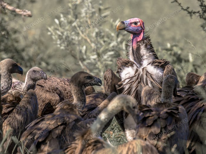 African vultures at cadaver
