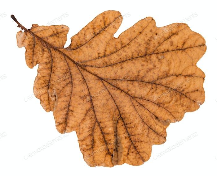 autumn old leaf of oak tree isolated