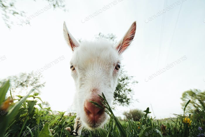 Goat in the meadow looking right at the camera