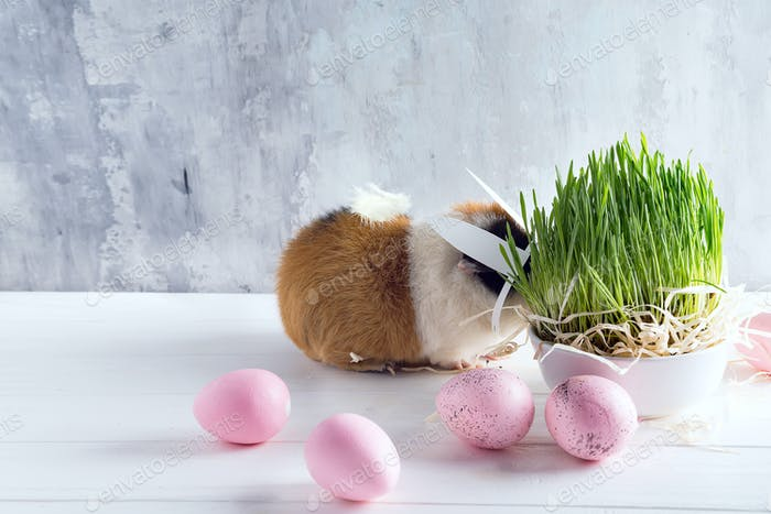 Guinea pig with the ears of the Easter bunny with colored eggs and green grass