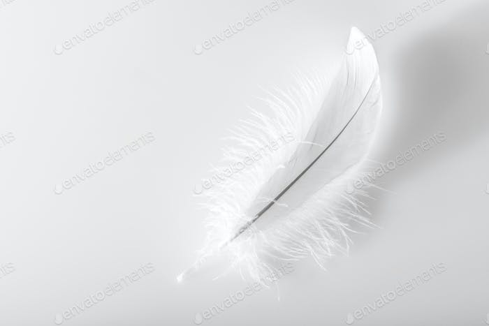 Single delicate fluffy white bird feather