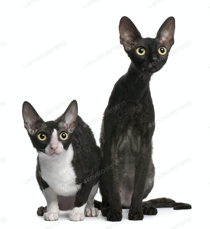 Dos gatos Cornish Rex, 7 meses de edad, sentados frente al Fondo blanco
