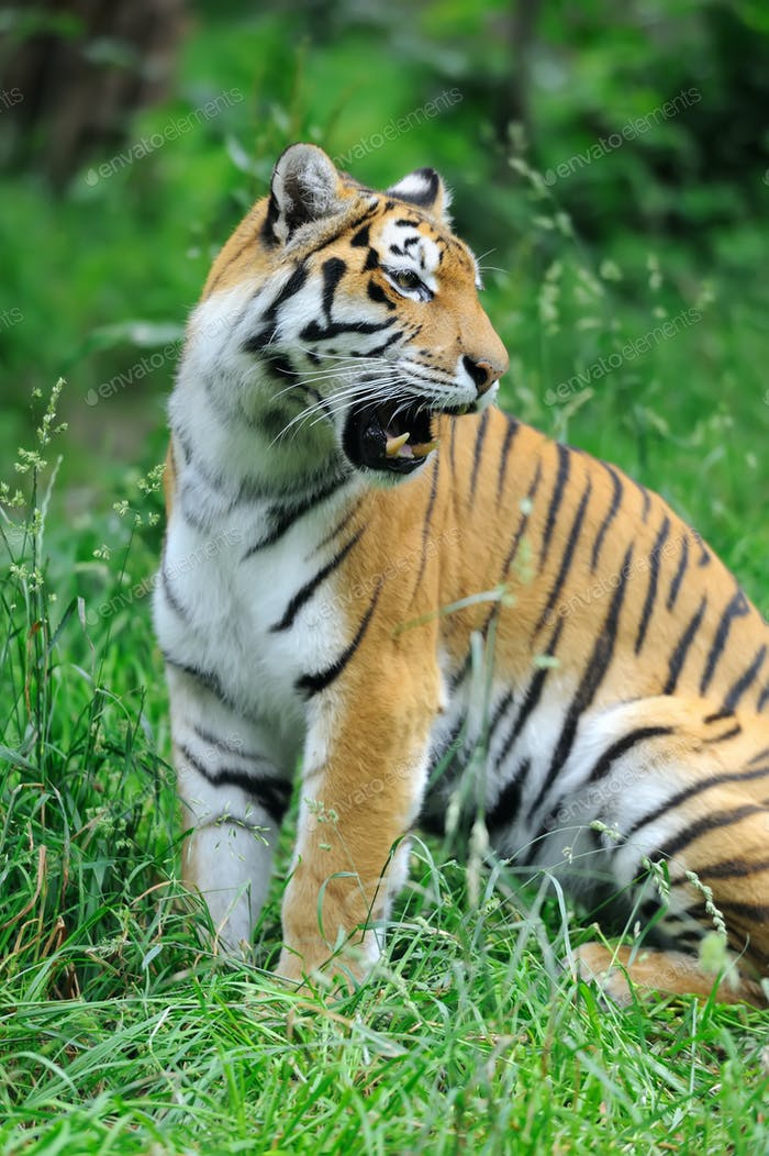 Tigers on a grass