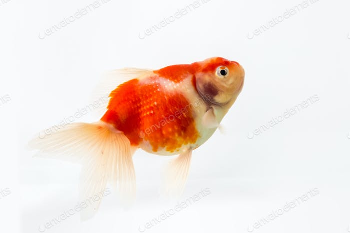 beautiful goldfish isolated