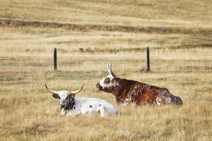 Two Texas Longhorns lying down on dry grass