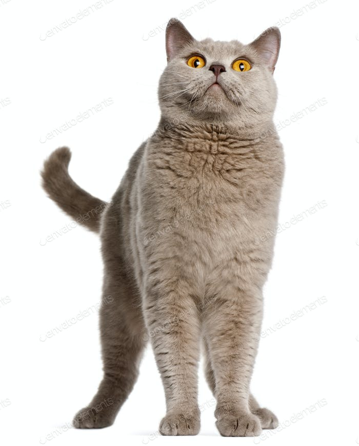 British Shorthair cat, 2 years old, standing in front of white background