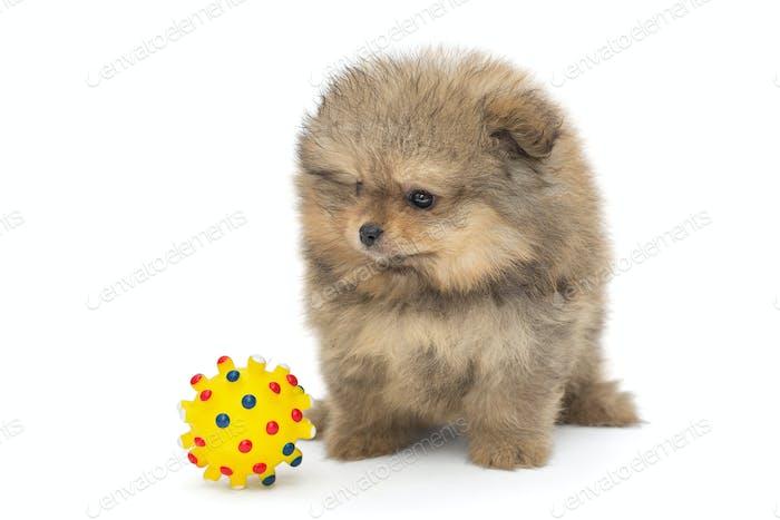 Pomeranian puppy and yellow ball