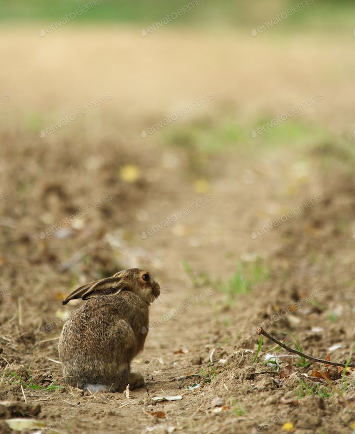 Cute little young hare sitting on a path.