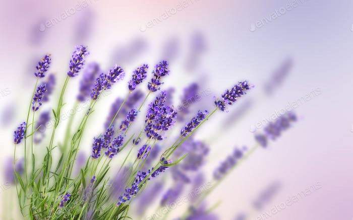 Fresh lavender flowers