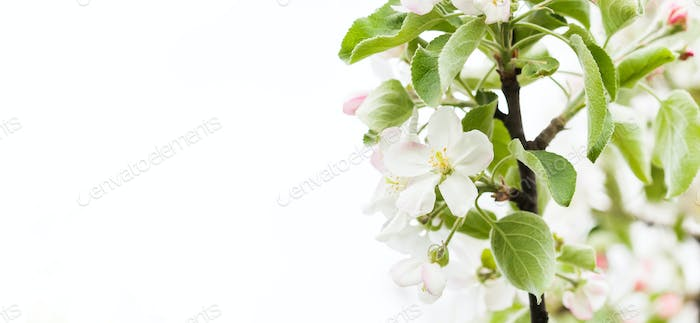 Apple tree blossom branch on white background, copy space. spring time poster template.