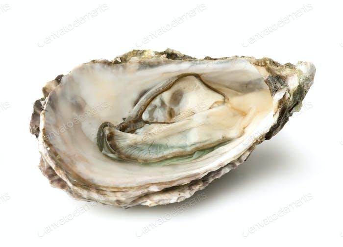 Rohe Auster