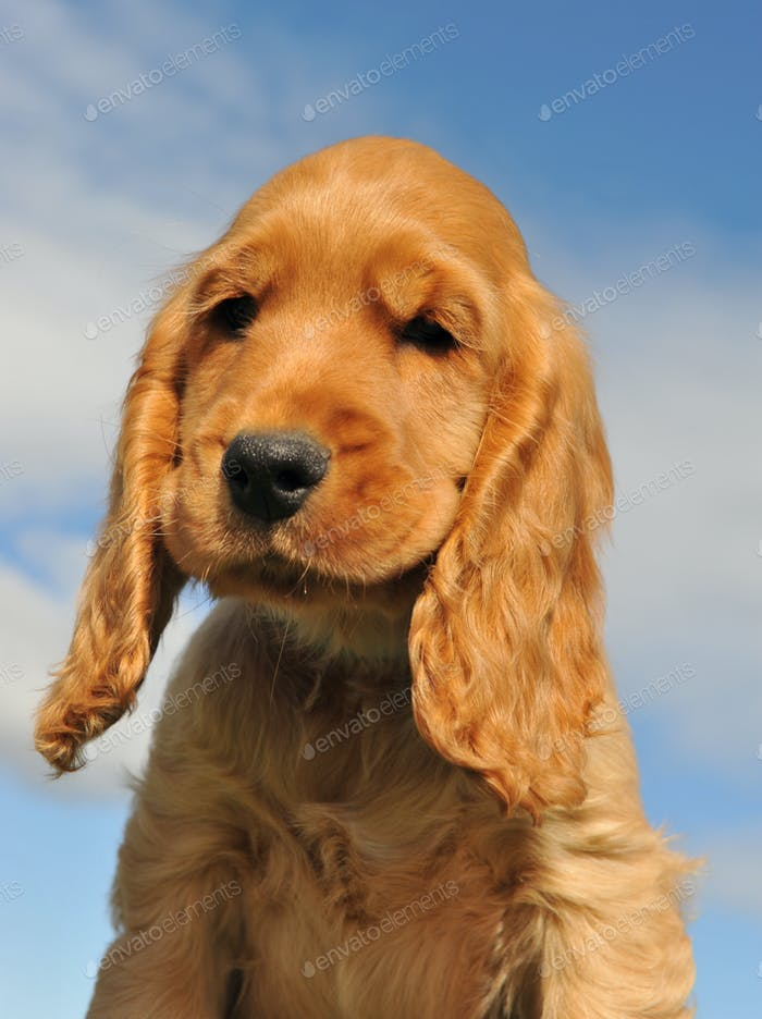 head of cocker spaniel