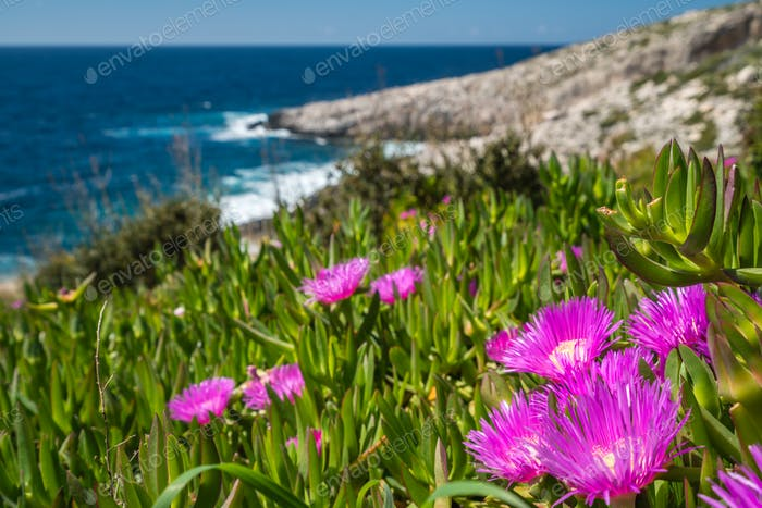 Pink flowres growing on the shore in Porto Limnionas