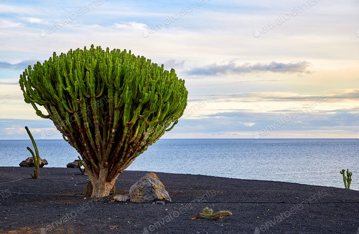 cactus tree in Lanzarote, Canary Islands, Spain