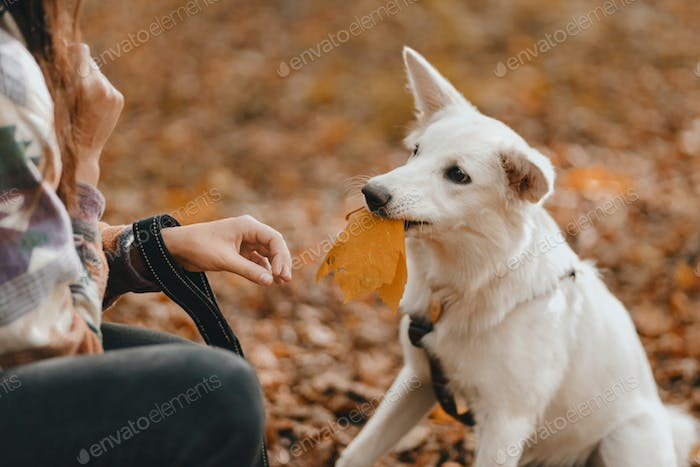 Adorable white dog with yellow autumn leaf sitting in sunny woods. Cute swiss shepherd puppy