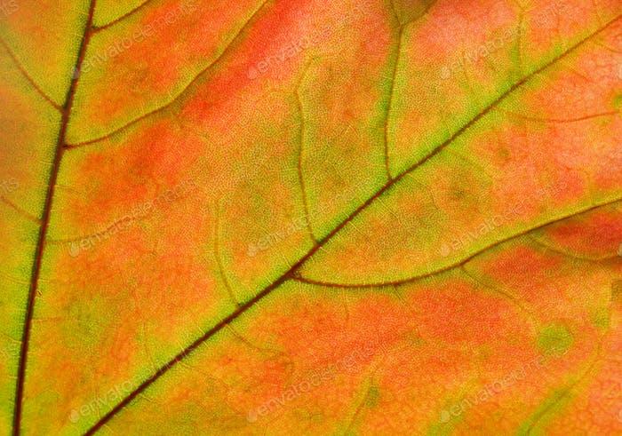 autumn leaf glowing in sunlight