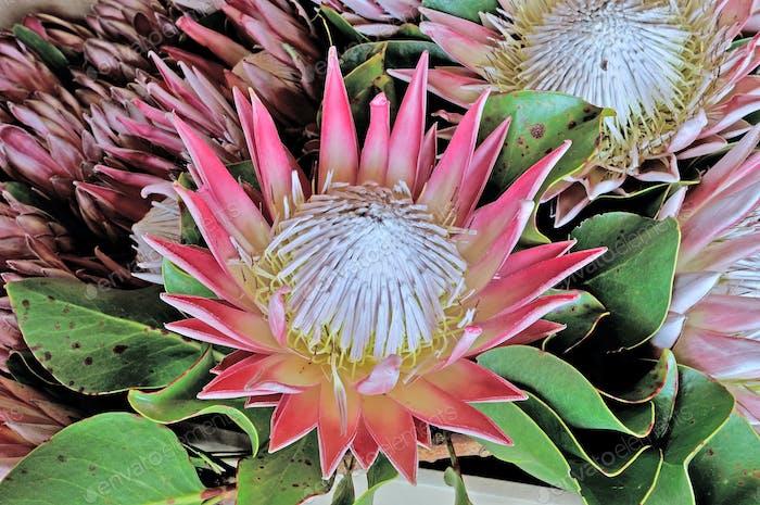 Protea cynaroides, the king protea
